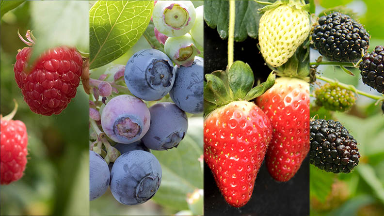 Fresas ecológicas, frambuesas ecológicas, moras ecológicas y arándanos ecológicos