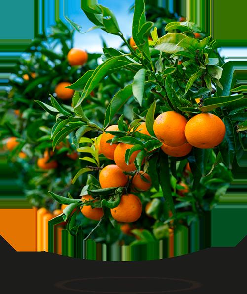 clementina ecológica